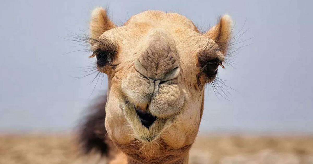 выходные дни маленький верблюд картинка есть особенности