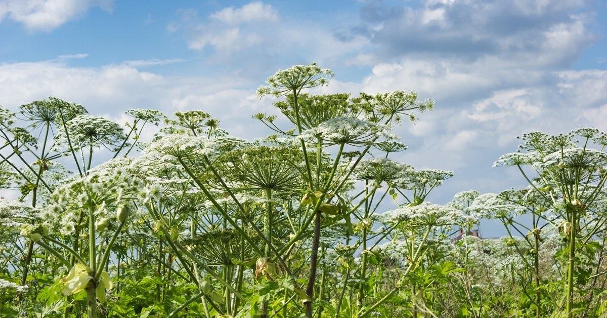 Растение борщевик картинки штраф