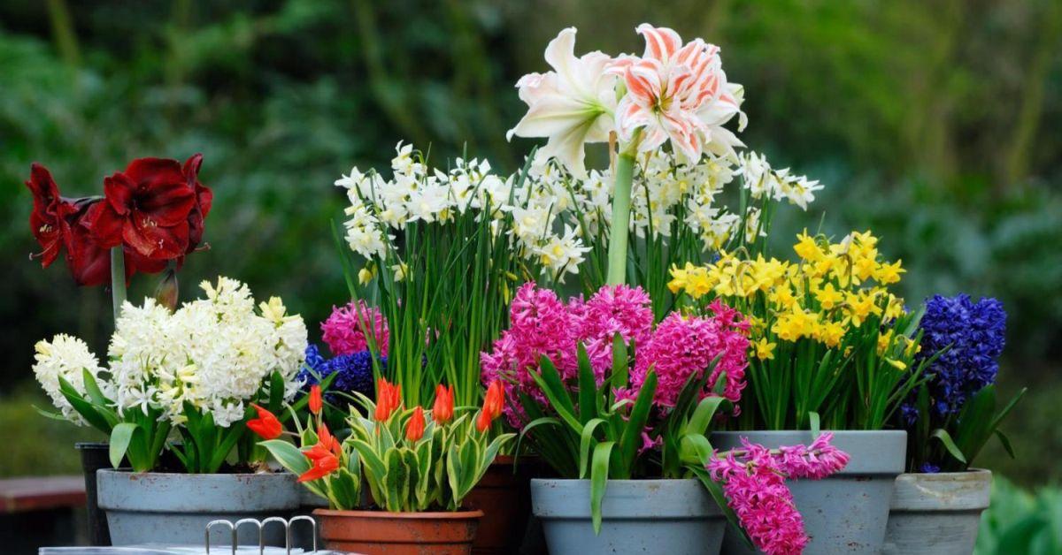 Уход за цветком в луковицах
